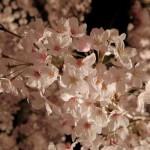 約1,000本の桜と琴の音色に酔い知れる!「福岡城さくらまつり」