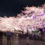 福岡の桜はこう愛でたい!名所と見所2019年版